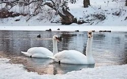 In the Kuban region are dying EN masse swans