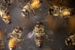 A swarm of aggressive bees attacked a town in Northern California