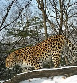 amur or the far eastern leopard world s An amur leopard in eastern russia a paper in the journal of wildlife diseases describes the first documented case of canine distemper virus in a wild amur leopard, after a two-year-old female was found on the side of the road exhibiting severe neurological symptoms amur leopards are critically .