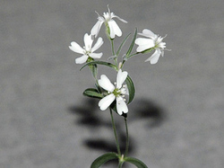 Den of antiquity: Flower reanimated from 30,000yo seeds