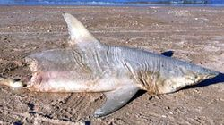 On the beach in Florida was found dead half-eaten shark
