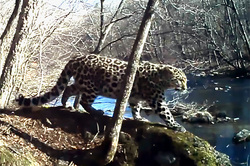 The female leopard was dancing in front of camera (video)