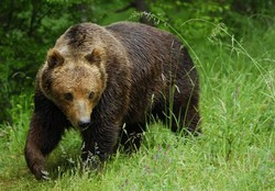 In the Chelyabinsk region, animal rights activists have saved the bear