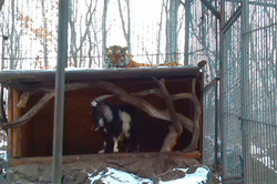 In the Park the Amur tiger made friends with the goat