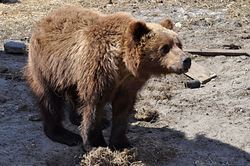 In the Murmansk region on the brink of starvation were two bears