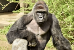 At the Cincinnati zoo shot and killed a 17-year-old gorilla