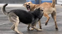 In Magadan stray dogs attacked the child
