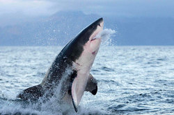 White shark attacked an American swimmer