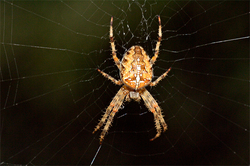 The fear of spiders within the DNA