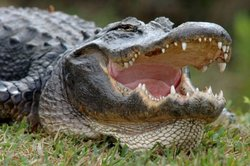 In Florida they found an alligator with a dead body in the jaws