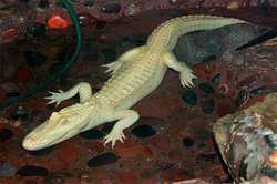 In the United States died of the rare white crocodile