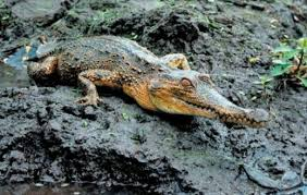 "Combat characteristics ""Alligator"" has decided to increase"