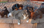 Fat cat defeated nine puppies (video)