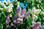In Moscow restore Lilac garden