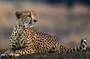 In the world there are approximately 7100 species of cheetahs