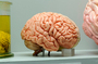 Neuroscientists have discovered the amazing properties of the brain