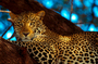 "Far Eastern leopards ""addicted"" to selfies"