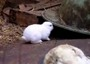 Mutant rabbit born near Fukushima plant